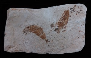 Photo of Fossil Fish